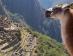 Llamas en Perú