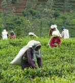 Sri Lanka, el pais del te y la canela