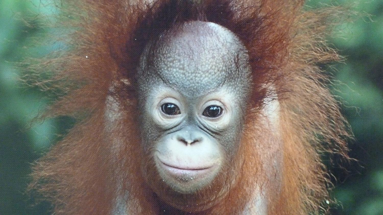 Indonesia viajes orangutanes