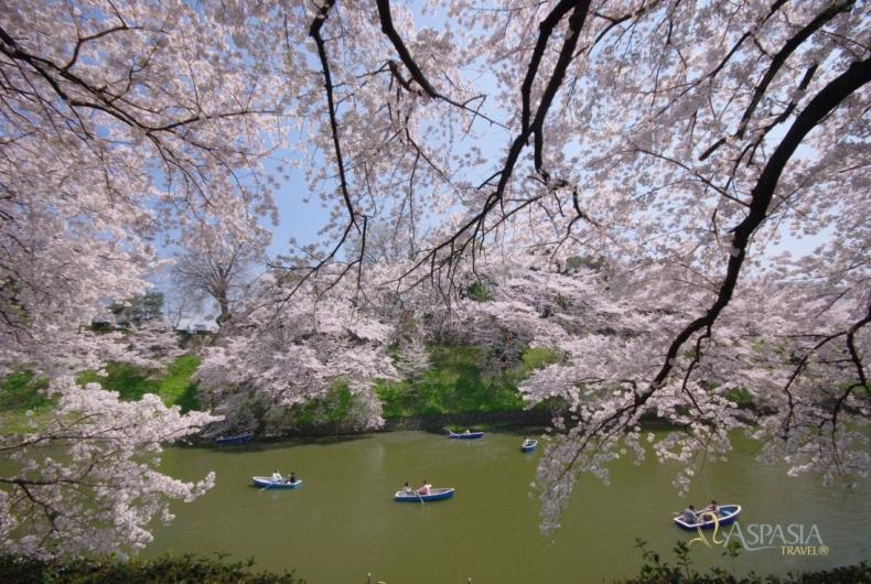 Cerezos En Flor - Viaje A Japon