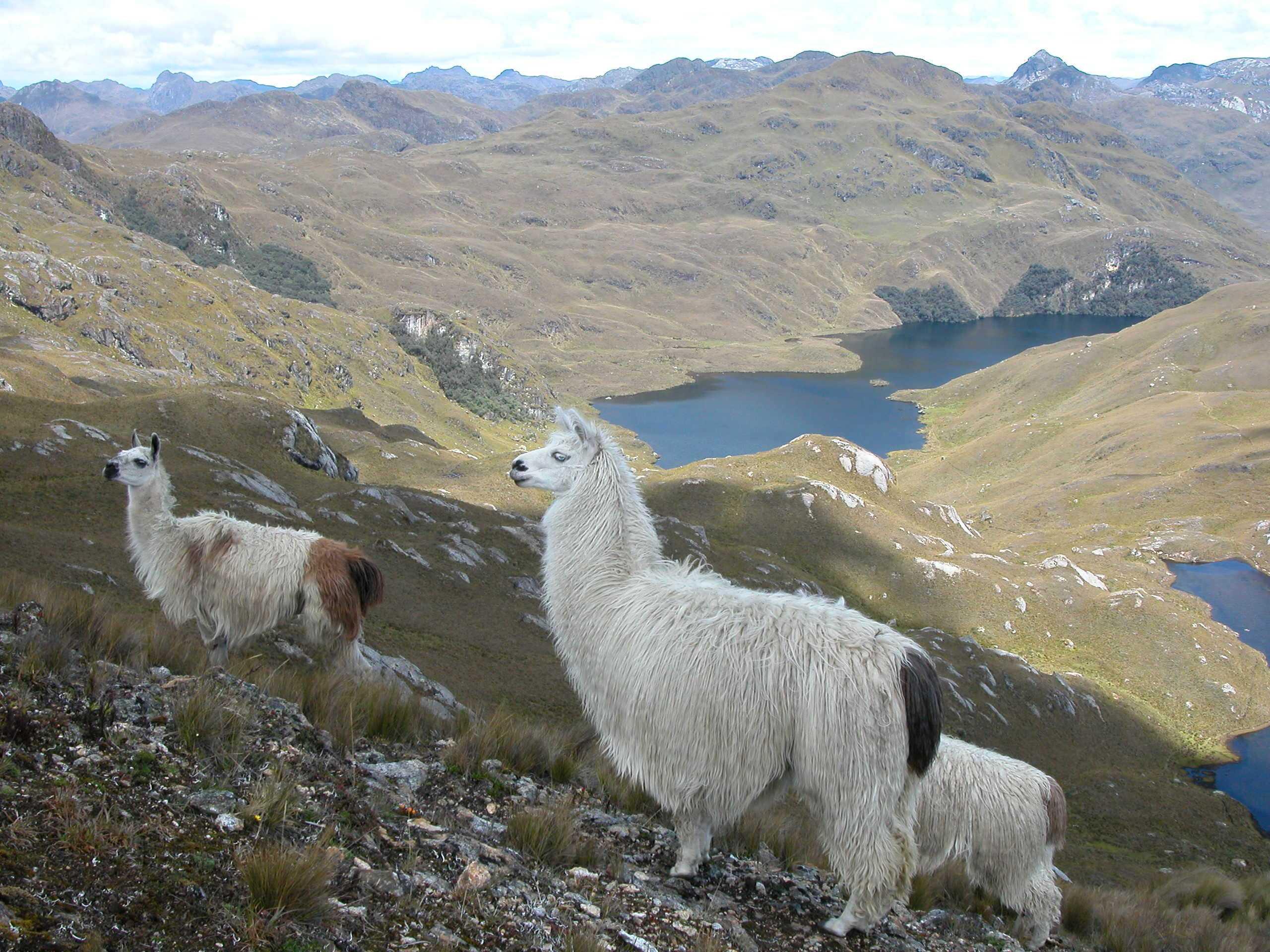 viaje-a-ecuador-llama