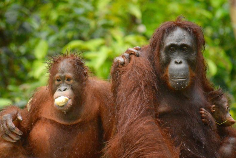 Que Hacer En Indonesia - Visita A Los Centros De Orangutanes