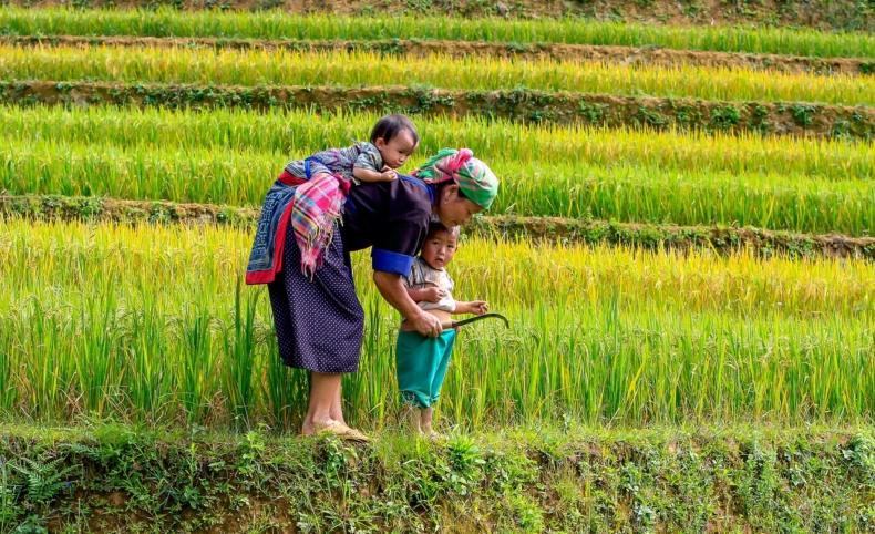 Campos De Arroz - Vietnam