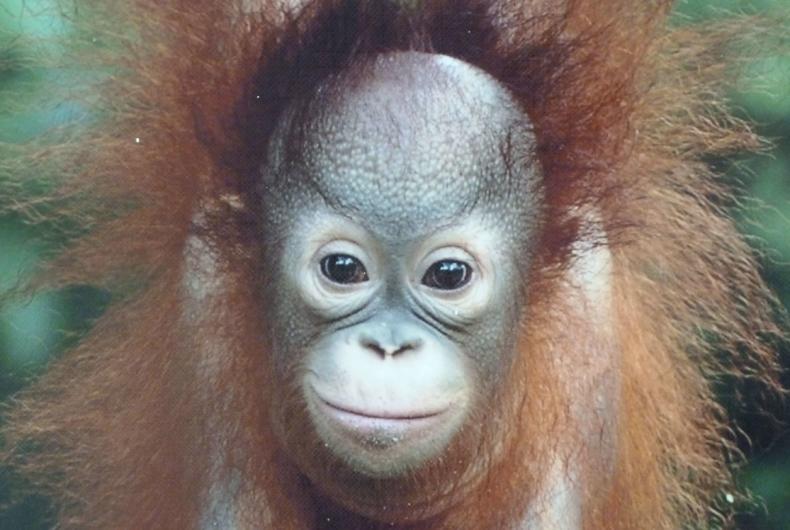 Borneo Malayo - monos en la camara