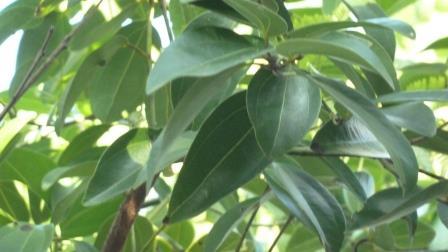 el Té en Sri Lanka