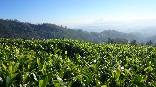 Viaje a Sri Lanka, el país del te