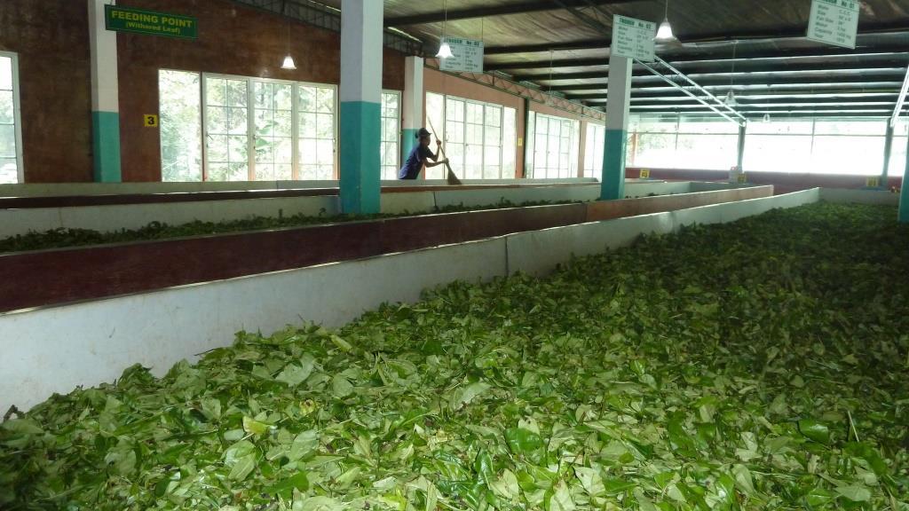 Proceso del té en Ceilán