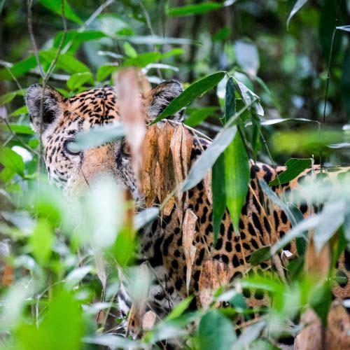 jaguar viaje a guatemala